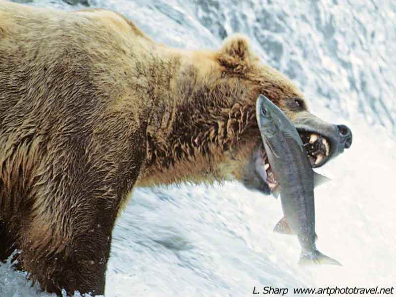 bear-catching-salmon-at-Brooks-Falls