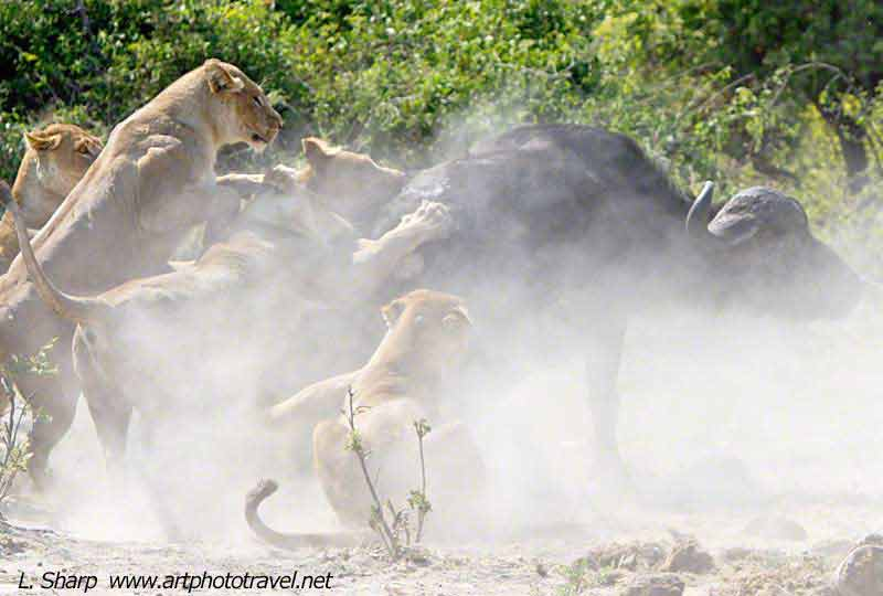 lion-buffalo-interaction-Duba-Plains