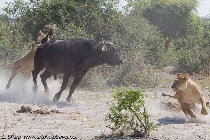lion-buffalo-interaction-at-duba-plains