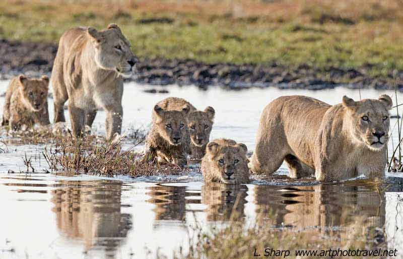 lion-cubs-first-outing-duba-plains