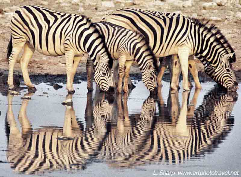 Zebra-reflections-at-Okaukuejo-waterhole