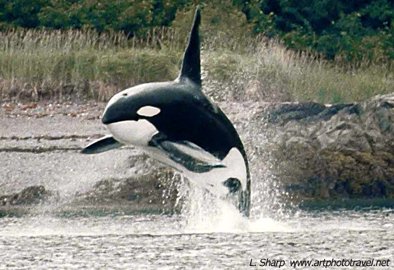 killer-whale-breeching