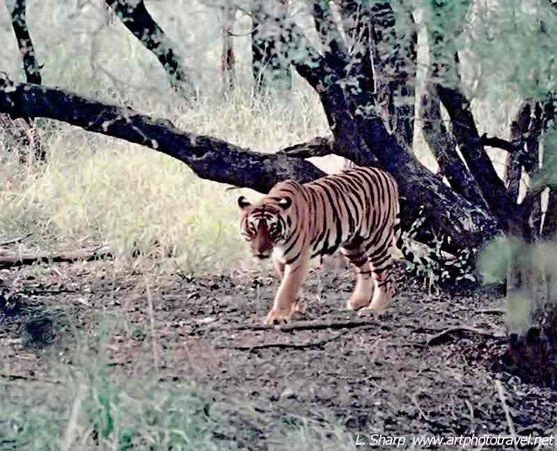 Ranthambhore-tiger-on-path