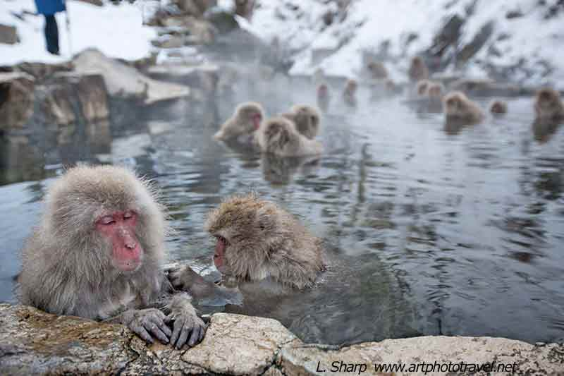 Snow monkeys-Jigokudani-hot-spring