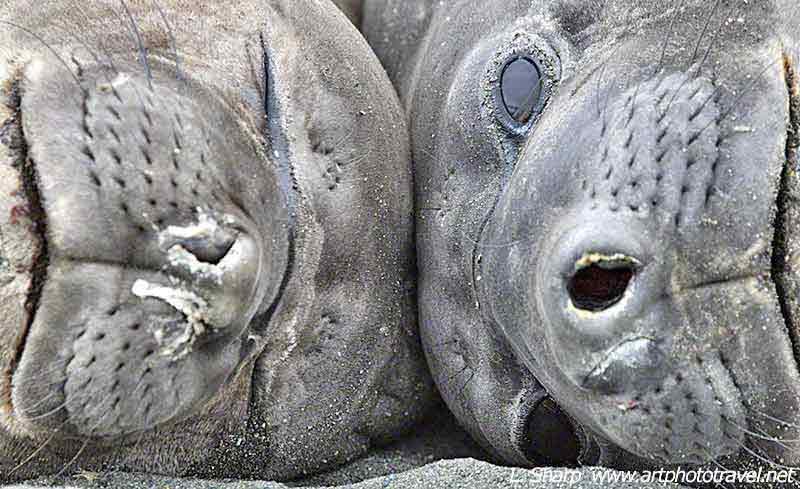 St Andrews Bay elephant seals