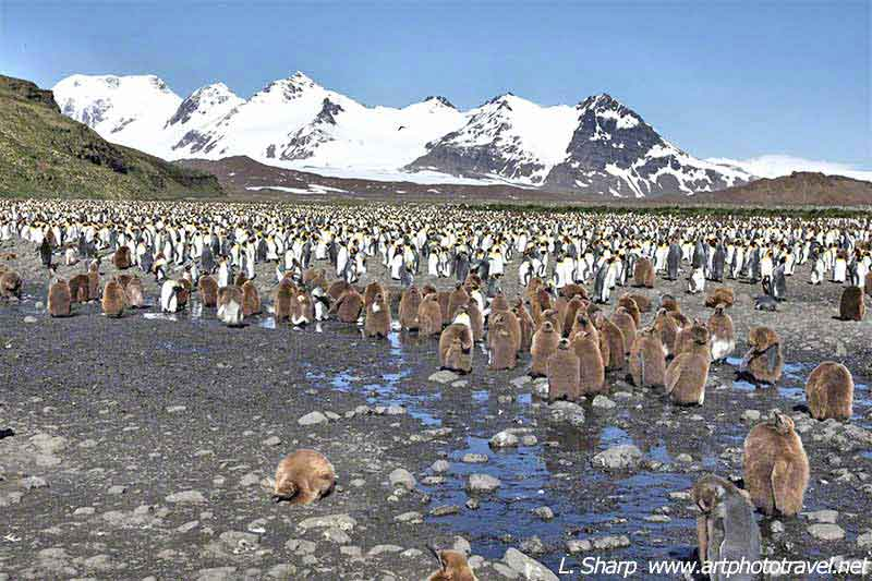 Salisbury Plains king penguin colony