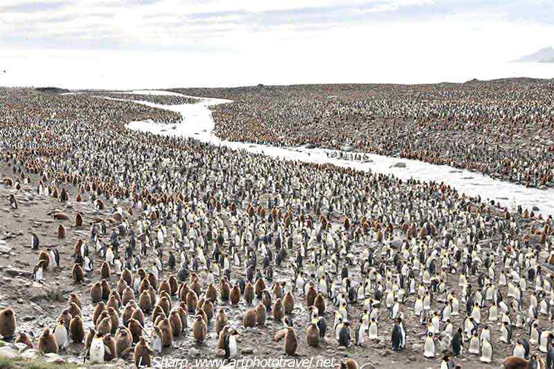 king penguin colony St Andrews Bay South Georgia