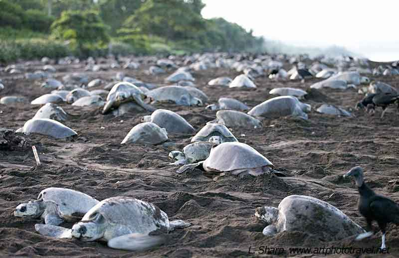 Arribada-Ostional-turtles-on-beach
