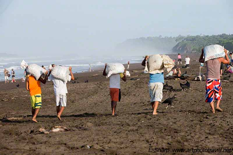 collecting-turtle-eggs-at-ostional