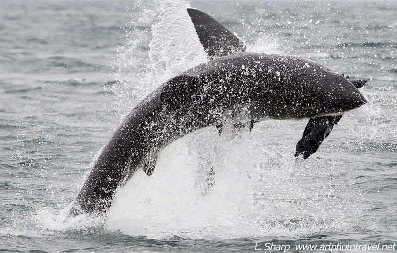 breaching-great-white-shark-false-bay