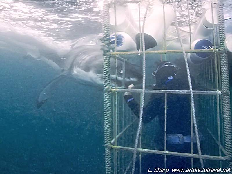 cage diving and great white shark