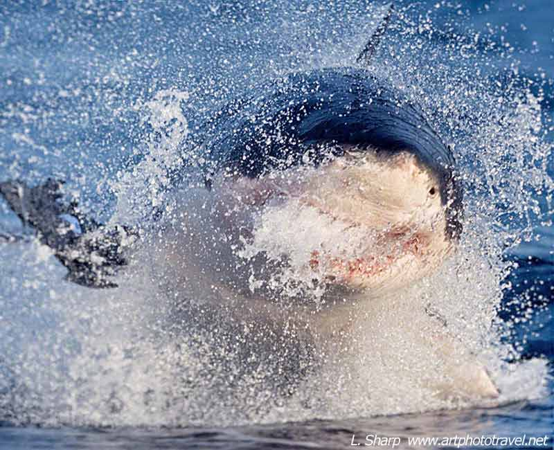 great white hunting seal during natural predation