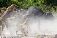 lion attack buffalo duba plains