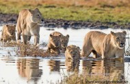 lion cubs cross water duba plains
