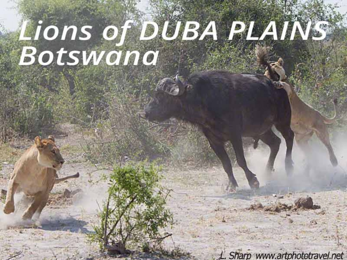 lions attack buffalo duba plains