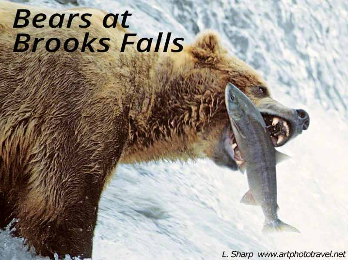 bear at brooks falls catching salmon
