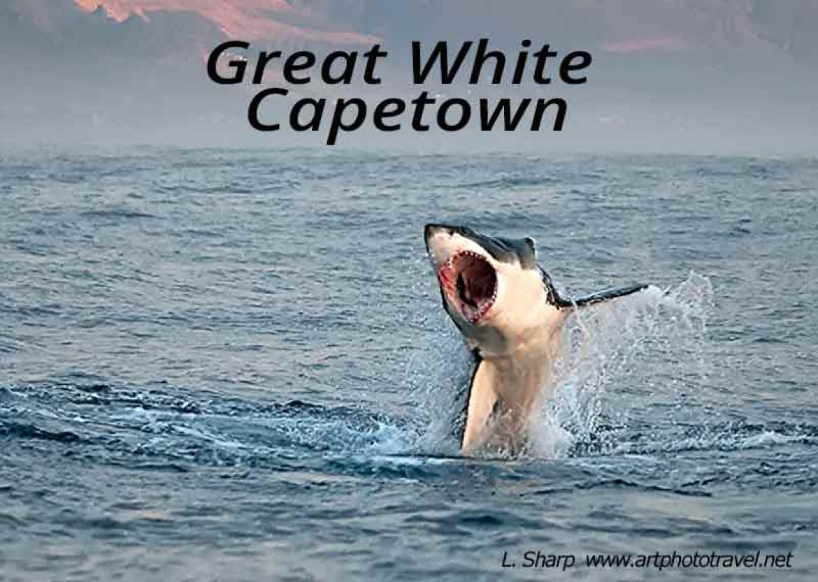 great white shark breaching false bay capetown
