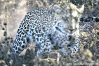 Leopard charging car timbavati