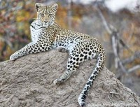 Leopard on an anthill