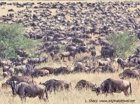 Wildebeest migration masai mara plains