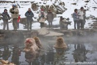 Snow monkey hot-spring Jigokudani Japan