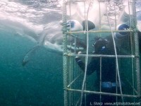 Great white shark at the cage