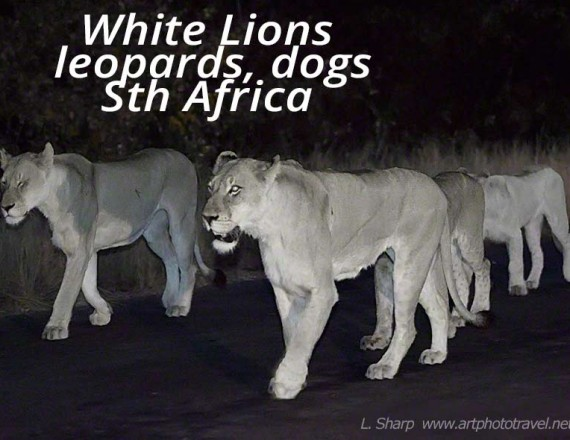 white lions of motswari timbavati reserve south africa