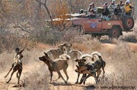 African Wild dogs on safari motswari timbavati