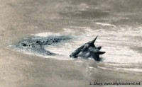 Wildebeest and crocodile face to face during crossing of the mara river kenya