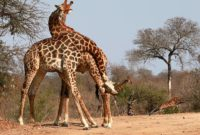 giraffes necking kings camp timbavati