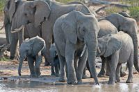 elephants at waterhole Timbavati