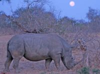 rhino at kings camp timbavati at full moon