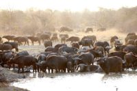 buffalo herd at waterhole kings camp timbavati