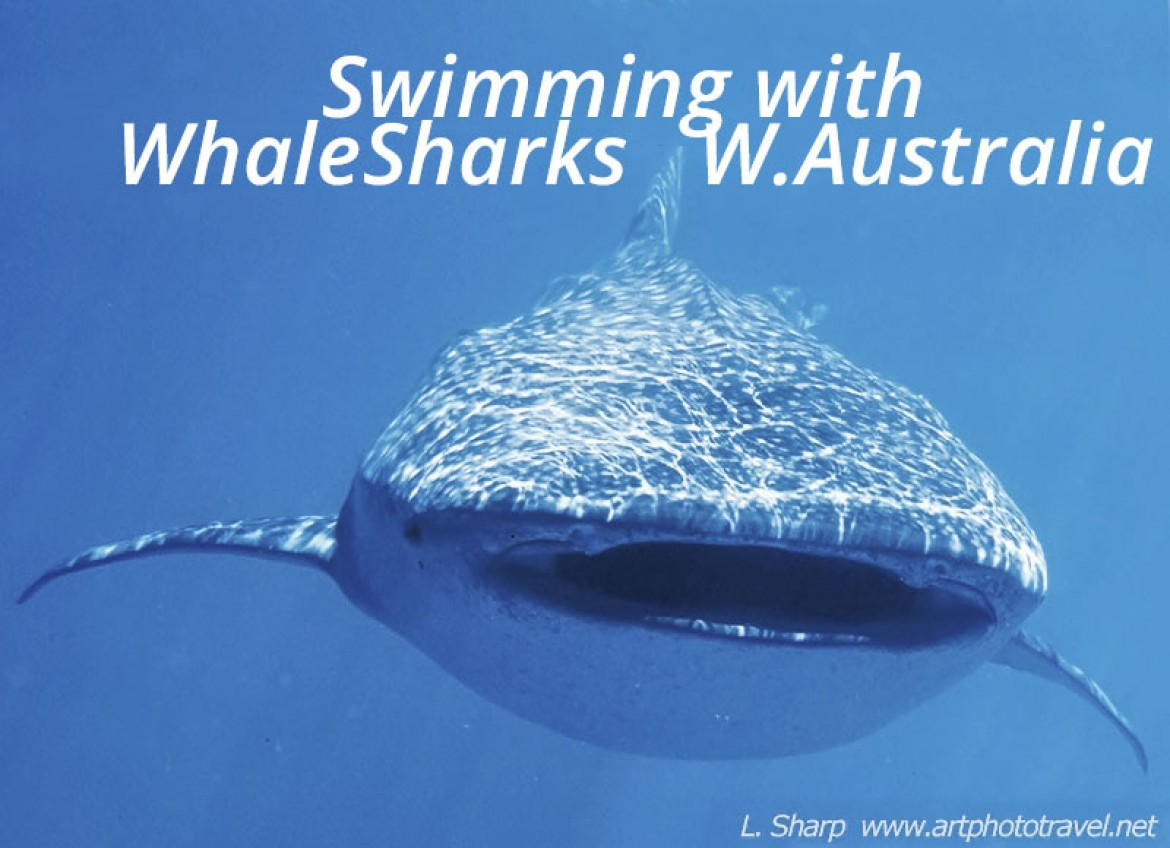 swimming with whalesharks exmouth australia