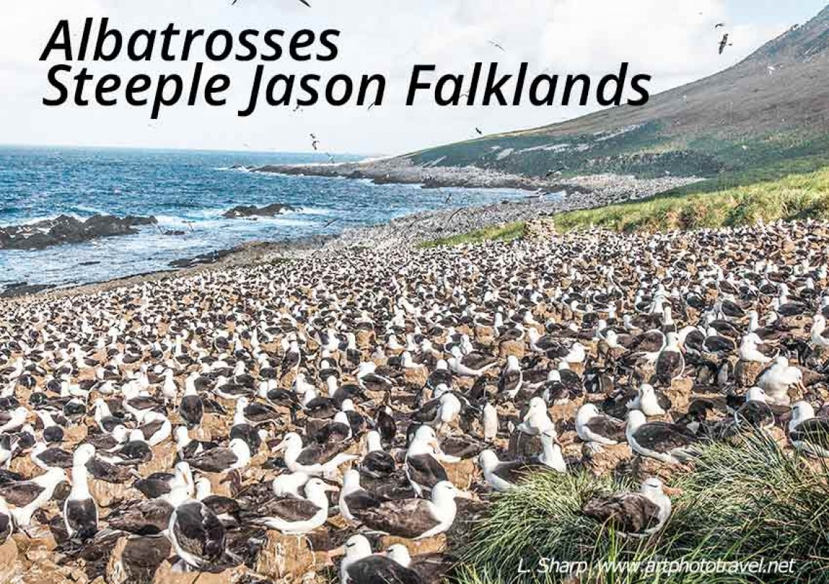 albatrosses of Steeple Jason Falkland islands