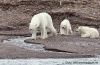 Polar bear and cubs Reindeer Flats arctic