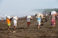 collecting the turtle eggs of the first wave Arribada  ostional costa rica