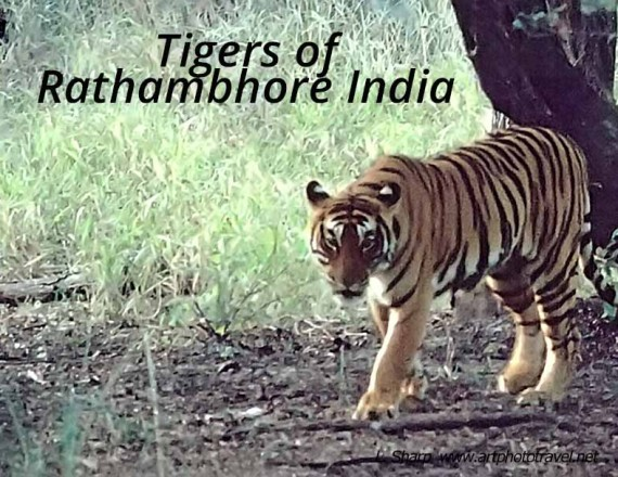tigers of Rathambhore india