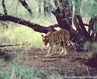 Tiger of Ranthambhore india