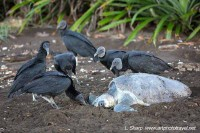 vultures hassle the turtles to get to eggs ostional costa rica
