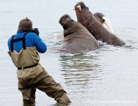 Walrus and photographer Torellneset arctic
